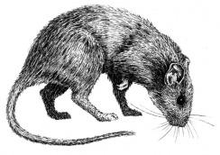 rat-t9784